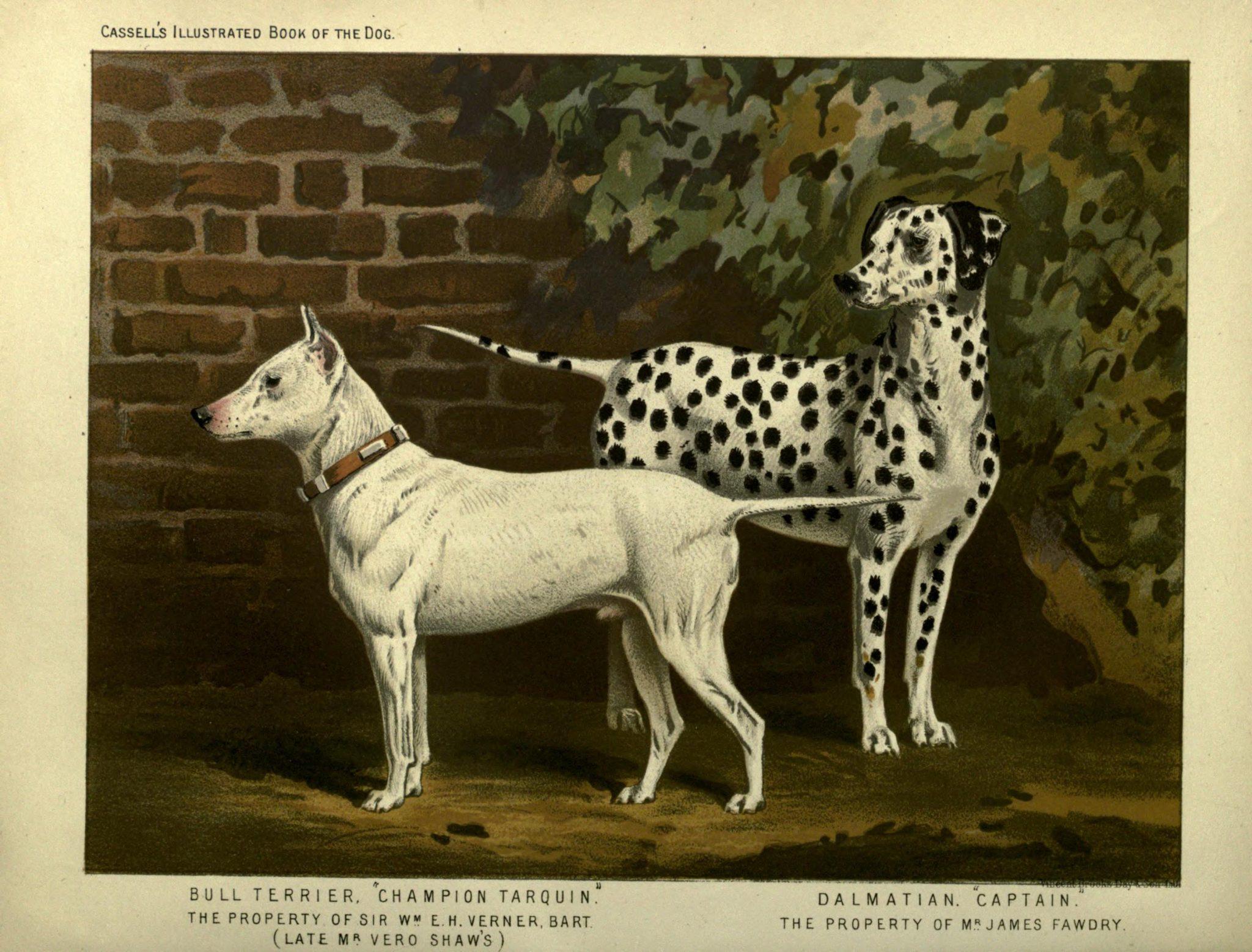 Deux chiens blancs, un bull terrier et un dalmatien, sur une illustration ancienne