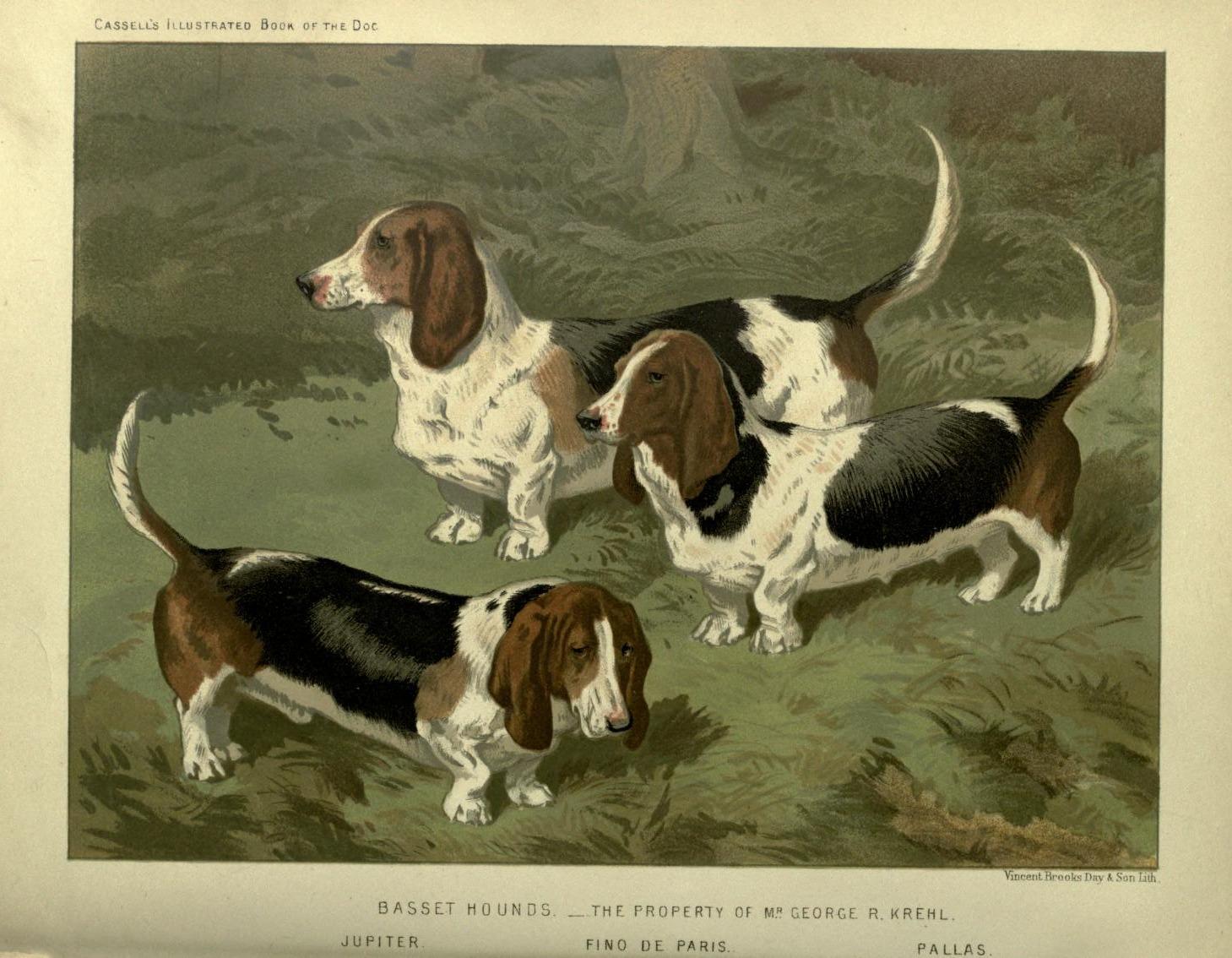 Trois chiens Basset Hound sur une pelouse